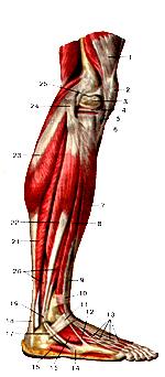 Обнажен латеральный мениск). четырехглавая мышца бедра...