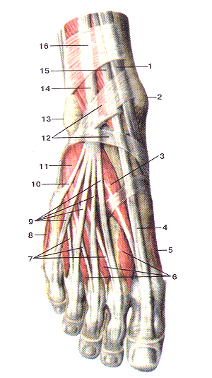 retinaculum musculorum flexorum pedis