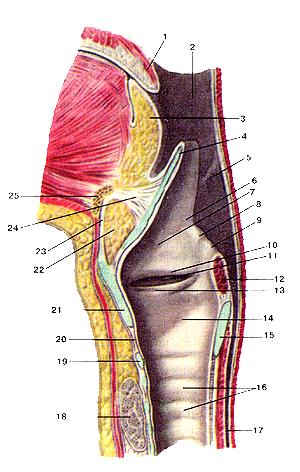5-гортанная часть глотки.  8-клиновидный бугорок.